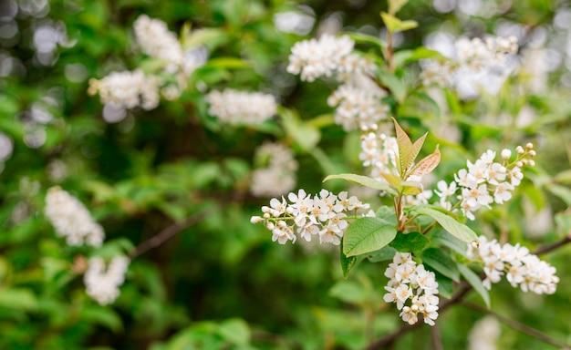 Frühlingsblumen, vogelkirsche. blühender prunus avium baum mit weißen kleinen blüten, helle natur