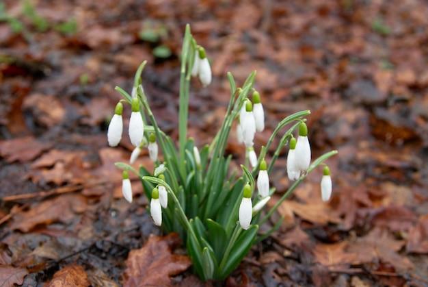 Frühlingsblumen weiße schneeglöckchen im wald