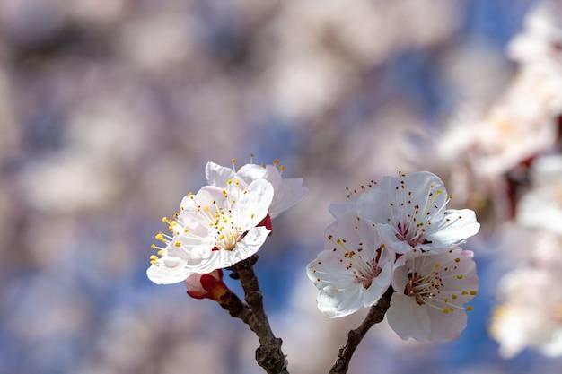 Frühlingsblumen. zweige der blühenden aprikose gegen den blauen himmel. weiße blüte. frühlingshintergrund. kirschblüten.