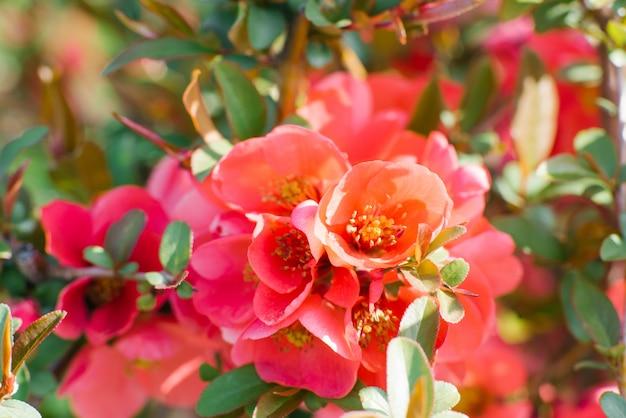 Frühlingsblumen: zweige der scharlachroten japanischen quitte im frühlingsgarten. selektiver fokus