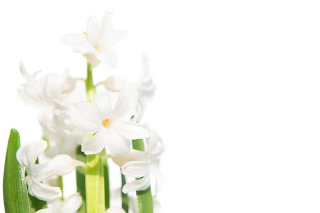 Frühlingsblumenhyazinthe isoliert auf weißem hintergrund. studio-makroaufnahme
