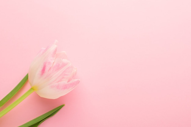 Frühlingsblumenrosa tulpen auf dem rosa