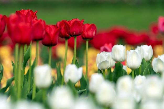 Frühlingsfelder der blühenden tulpe. schönheit im freienszene. bunte blumen bauernhoflandschaft