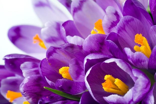Frühlingsferien krokus blumen hintergrund (makro)