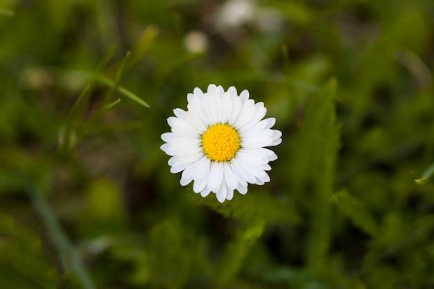 Frühlingsgänseblümchen auf einem grünen hintergrund. tageslicht. nahansicht