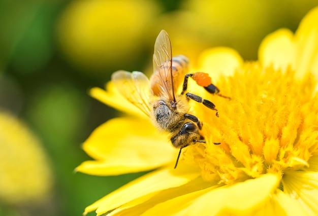 Frühlingsgänseblümchenblume und honigbiene sammeln pollen