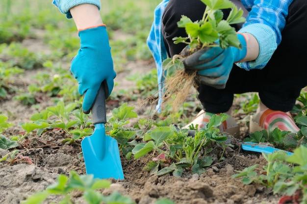 Frühlingsgarten, hände der frau in den handschuhen mit gartenwerkzeugen pflanzen erdbeerbüsche