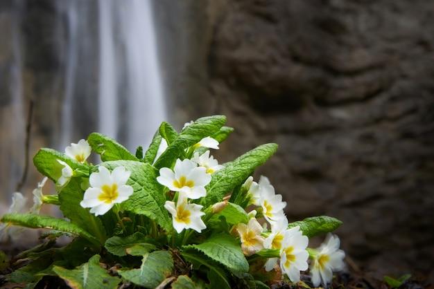 Frühlingsgelbe blume (primula vulgaris) auf dem wasserfallhintergrund