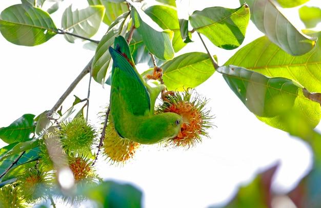 Frühlingshafter hängender papagei loriculus vernalis schöne vögel von thailand einen rambutan essend