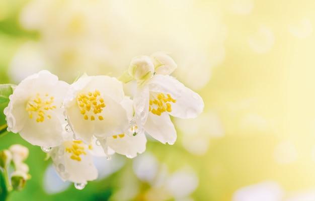 Frühlingshintergrund die niederlassung des jasmins blüht mit regentropfen im weichen sonnenlicht