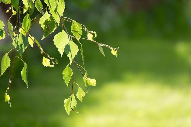 Frühlingshintergrund mit hellem frischem birkenlaub im sonnenlicht