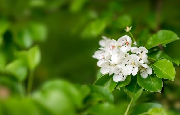 Frühlingshintergrund. weiße blüten in grünen blättern. blühende birne ..
