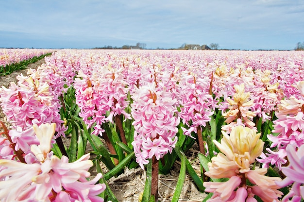 Frühlingshyazinthenblumen, die niederlande
