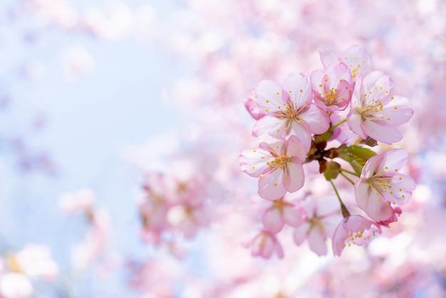 Frühlingskirschblüte. schöne rosa blumen.