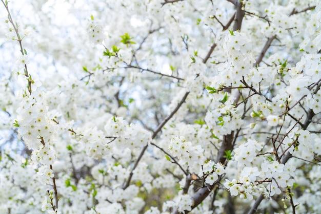 Frühlingskirschblüte. schöne weiße blumen