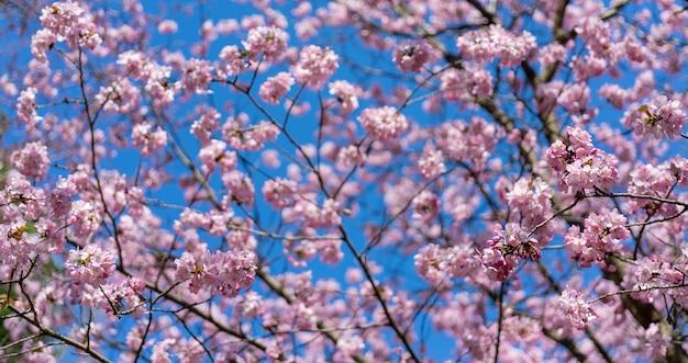 Frühlingskirschblüte. schöner rosa blumenhintergrund.