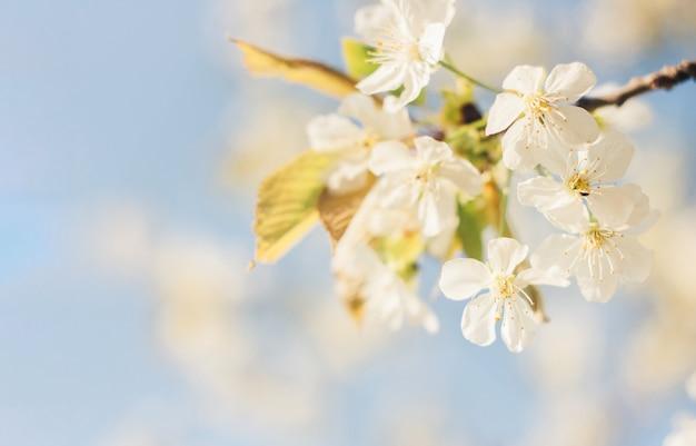 Frühlingskirschblüte, vibrierender blauer himmel und blumenhintergrund