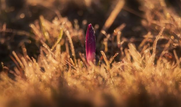 Frühlingskrokus am vorfrühlingsmorgen