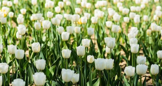 Frühlingskulisse. tulpenfeld. weiße tulpen blühen. schönen muttertag. konzept für den frauentag. frühling. angenehmes aroma. gartenkonzept. blumengarten anbauen. frühlingsferien. feiern sie wärme.