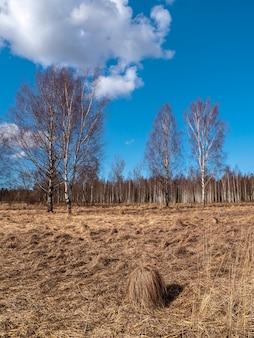 Frühlingslandschaft mit birken im sumpf. land mit trockenem gras und hügel. vertikale ansicht.