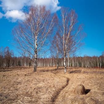 Frühlingslandschaft mit einem weg und birken im sumpf. land mit trockenem gras und hügel.