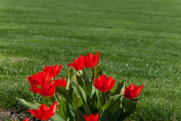 Frühlingslandschaft mit roter tulpenblumenwiese und gras im park