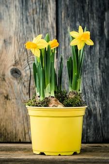 Frühlingsnarzisse im gelben topf auf altem hölzernem hintergrund.
