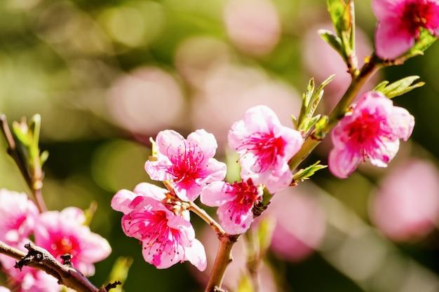 Frühlingsnatur, pfirsichblüte, rosa blumen auf niederlassungen an einem sonnigen tag, schöne postkarte.