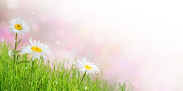 Frühlingsnaturhintergrund mit kamillenblumen und grünem gras