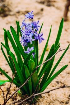 Frühlingspurpur blüht hyazinthen im garten.