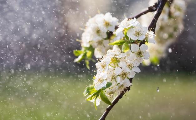 Frühlingsregen im garten. weiße blumen der kirschpflaume im regen an einem frühlingstag. weichzeichner und flacher dof