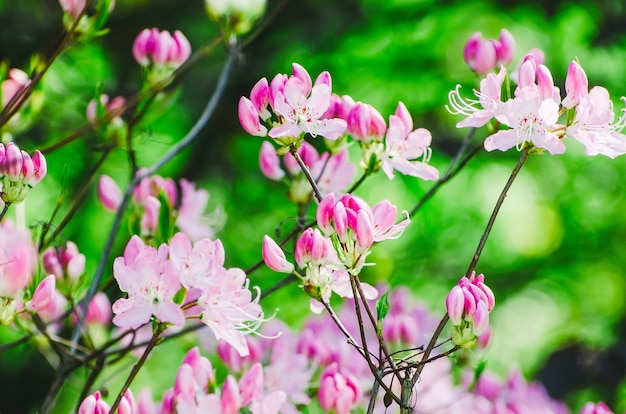 Frühlingsrosa blumen auf büschen im park und im sonnenlicht.