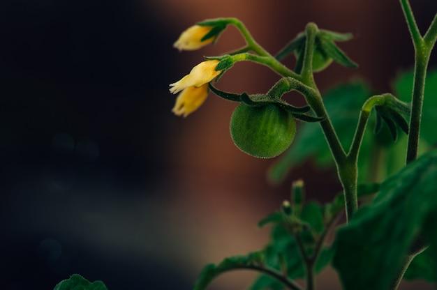Frühlingssämlinge. kleine grüne tomaten und gelbe blumennahaufnahme