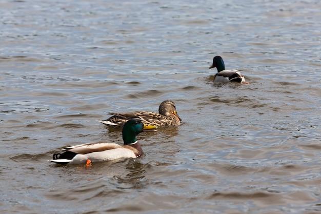 Frühlingssaison mit wildvogelenten, wildenten in der natürlichen umgebung, wilden kleinen enten auf dem territorium der seen