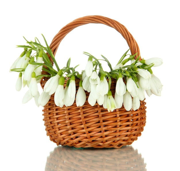Frühlingsschneeglöckchenblumen im weidenkorb, auf weiß