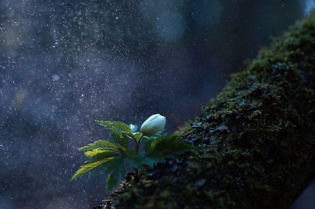 Frühlingsweiße blume unter regentropfen am frühen morgen mit bokeh-effekt