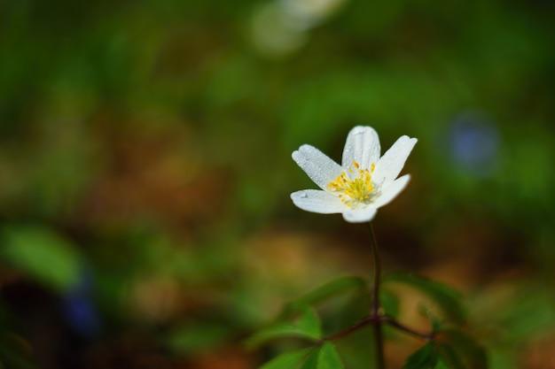 Frühlingsweiße blumen im gras anemone (isopyrum thalictroides)