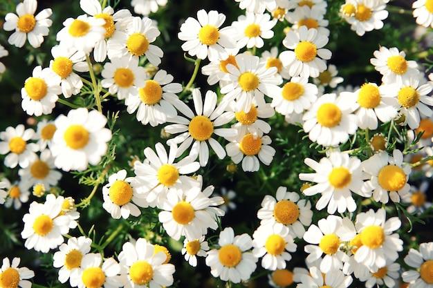 Frühlingsweißes gänseblümchen blüht in der natur im sonnenlicht.