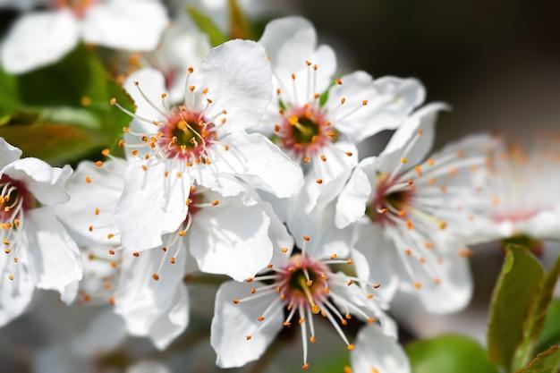 Frühlingszeit. blühender baumbrunch mit weißen blüten.