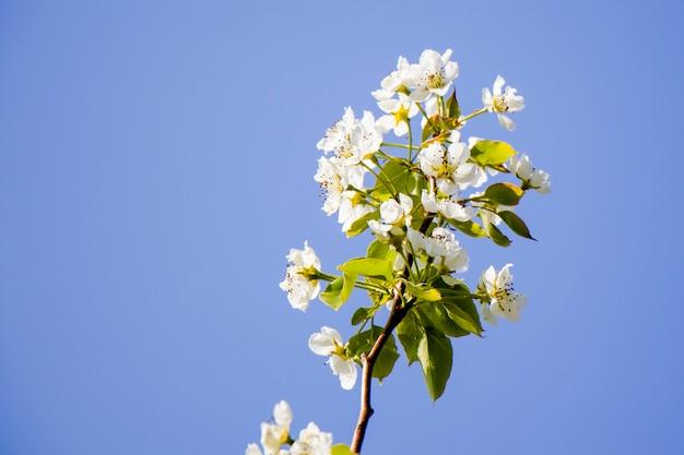 Frühlingszeitbaum, weiße blumen auf dem zweig, kirschbaumblütezeit, naturhintergrund