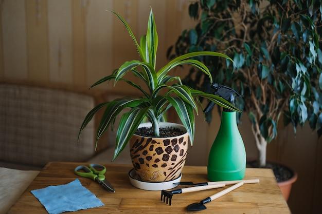 Frühlingszimmerpflanzenpflege, die zimmerpflanzen für den frühling aufweckt, weibliche hände sprühen und wäscht die blätter