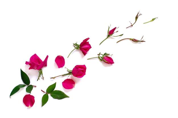 Frühlingszusammensetzung mit rosa rosen über weißer hintergrundoberansicht