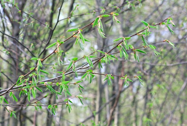 Frühlingszweig hainbuche mit grünem blatt (nahaufnahme) auf waldhintergrund