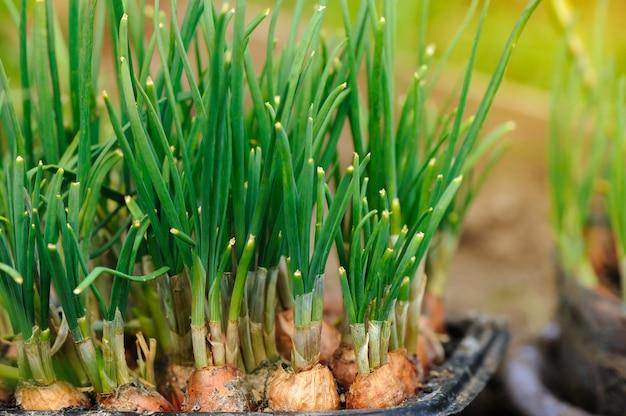 Frühlingszwiebel, die im glarden wächst.