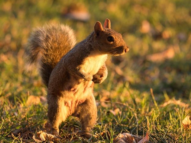 Fuchs-eichhörnchen, das auf dem boden steht, der im gras unter sonnenlicht bedeckt ist