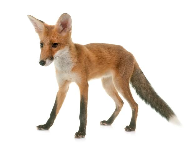 Fuchs tier