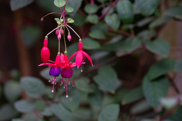 Fuchsia magellanica blume, kolibri fuchsia oder robuste fuchsie
