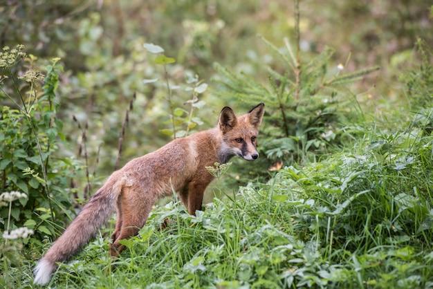 Fuchsjunges bei der jagd. europäisches rotfuchs-kind
