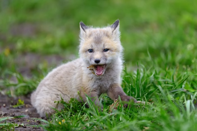 Fuchsjunges im gras hautnah