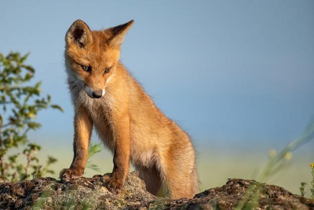 Fuchsjunges. junger rotfuchs steht auf einem stein